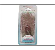 Rastlina Red Foxtail Plus 15 cm 1ks  VÝPREDAJ