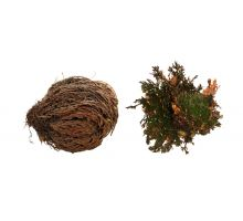 """Lucky Reptile """"Rose of Jericho"""""""