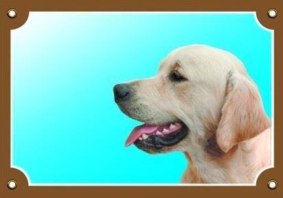 Farebná ceduľka Pozor pes Zlatý retriever